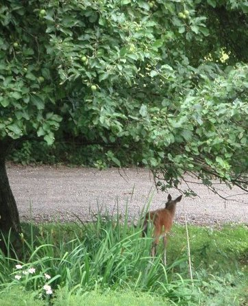 small deer under tree with apples