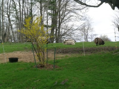 forsythia bush with sheep on hill behind house